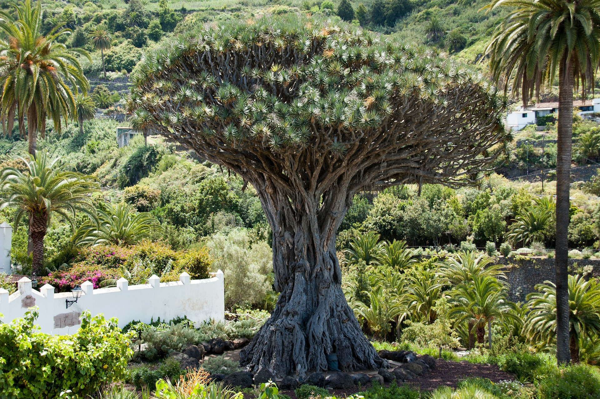 Этот великолепный экземпляр Драконьего Дерева- самый крупный в мире. Его высота составляет 18 метров, а обхват ствола у основания- 20 метров/ Фото: pixabay (C.C.)
